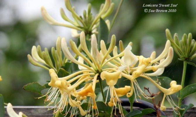 Plantfiles Honeysuckle Late Dutch