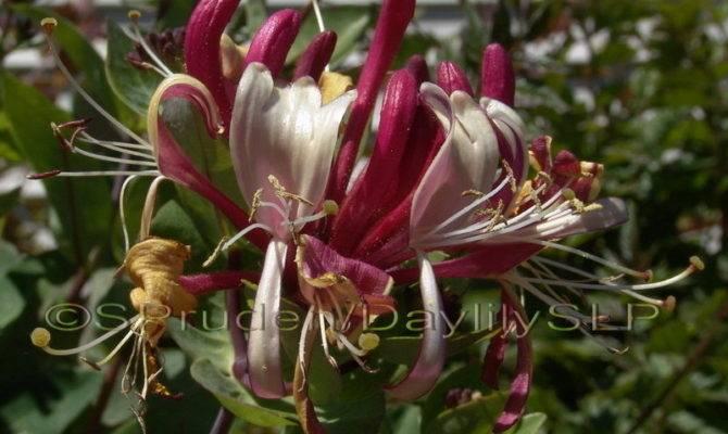 Plantfiles Lonicera Honeysuckle Late Dutch